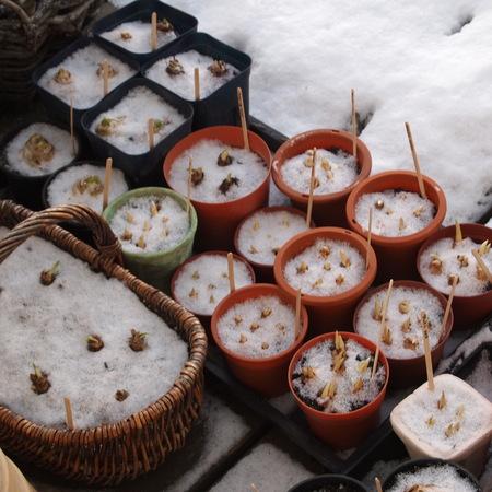 ヒヤシンスの水栽培はぜひ秋に_a0292194_758129.jpg