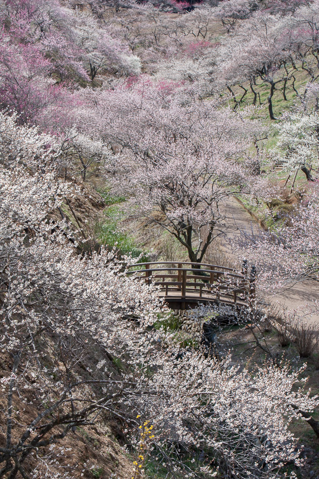 失われた梅園(吉野梅郷)_b0010915_2375172.jpg