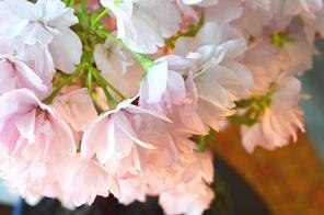 3/15(日)桜盆教室 参加者募集中です_d0263815_16384197.jpg