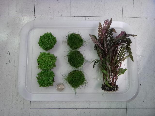 150305 熱帯魚・金魚・侘び草・水草・観葉植物_f0189122_13284771.jpg