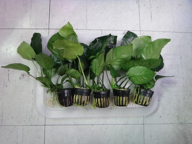 150305 熱帯魚・金魚・侘び草・水草・観葉植物_f0189122_13311124.jpg