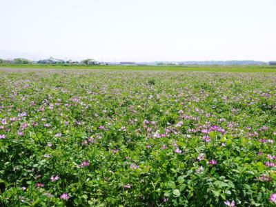 砂田米 れんげの成長!今年も緑肥として育て、田んぼでは米しか作らんばい!!_a0254656_1718019.jpg