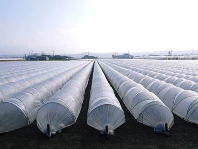 砂田米 れんげの成長!今年も緑肥として育て、田んぼでは米しか作らんばい!!_a0254656_17331719.jpg