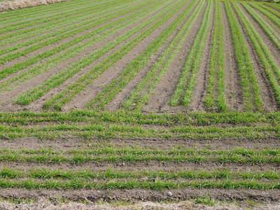 砂田米 れんげの成長!今年も緑肥として育て、田んぼでは米しか作らんばい!!_a0254656_17411160.jpg
