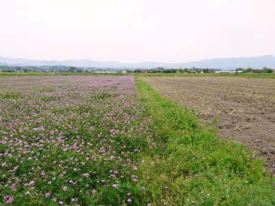 砂田米 れんげの成長!今年も緑肥として育て、田んぼでは米しか作らんばい!!_a0254656_1891624.jpg