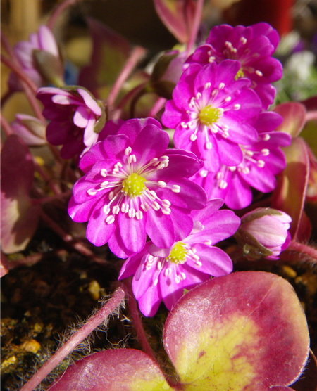 雪割草の開花と発芽、実生から育った初花など♪_a0136293_1724839.jpg
