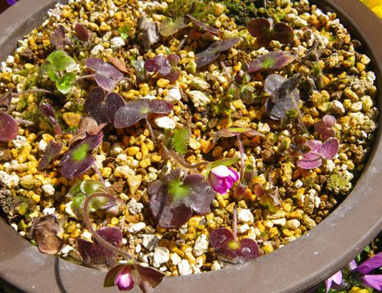 雪割草の開花と発芽、実生から育った初花など♪_a0136293_1753032.jpg