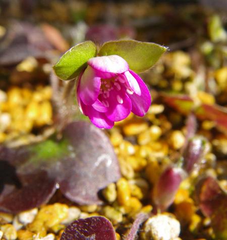 雪割草の開花と発芽、実生から育った初花など♪_a0136293_1761517.jpg