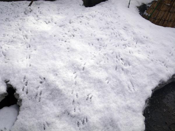 朝の雪と花の芽、クリスマスローズなど♪_a0136293_1845319.jpg