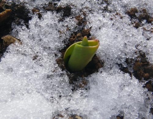 朝の雪と花の芽、クリスマスローズなど♪_a0136293_18525171.jpg