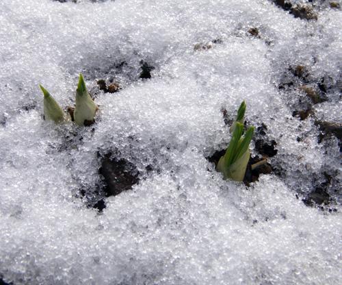 朝の雪と花の芽、クリスマスローズなど♪_a0136293_18533126.jpg