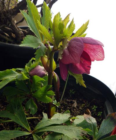 朝の雪と花の芽、クリスマスローズなど♪_a0136293_18574845.jpg
