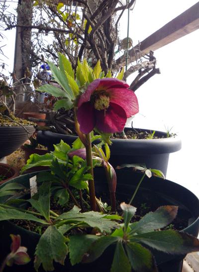 朝の雪と花の芽、クリスマスローズなど♪_a0136293_1905399.jpg