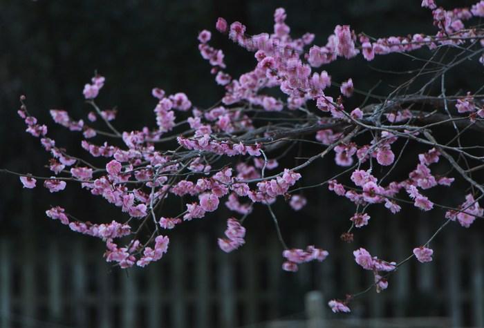 早春 梅の花 色々_d0150720_11103574.jpg