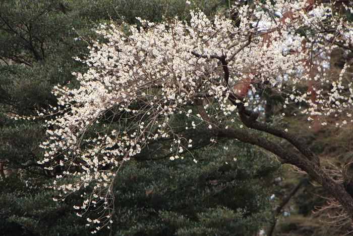 早春 梅の花 色々_d0150720_1110647.jpg