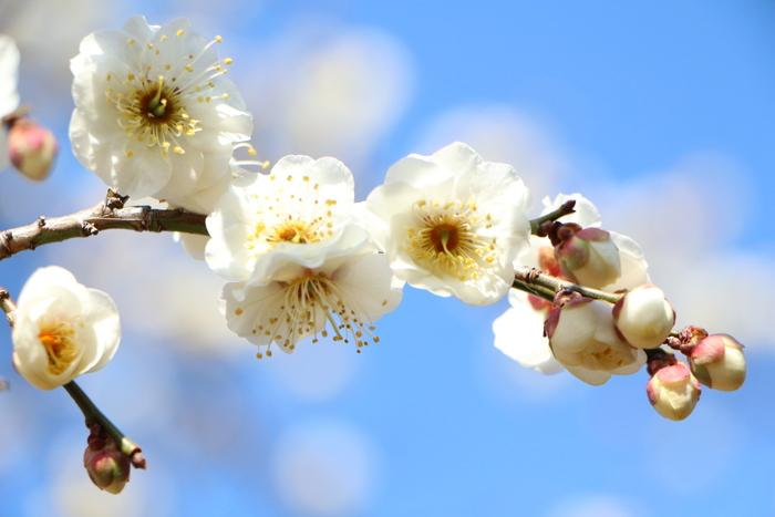 早春 梅の花 色々_d0150720_11125891.jpg