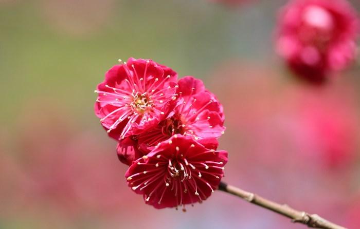 早春 梅の花 色々_d0150720_1112894.jpg