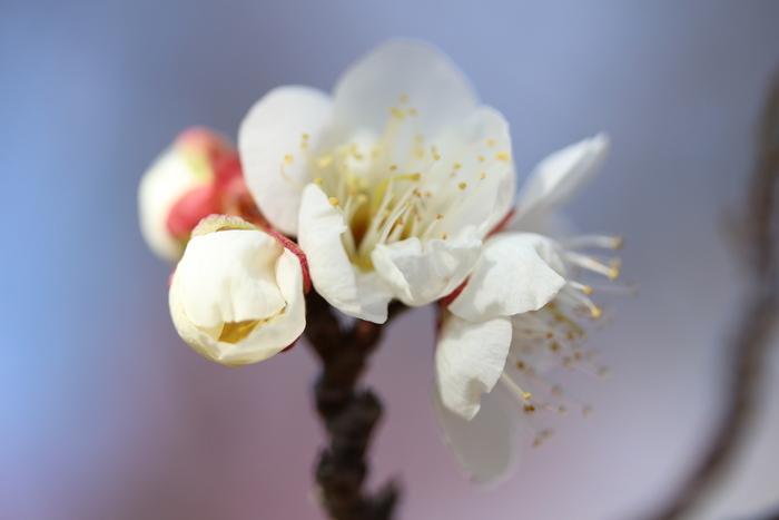早春 梅の花 色々_d0150720_1114409.jpg