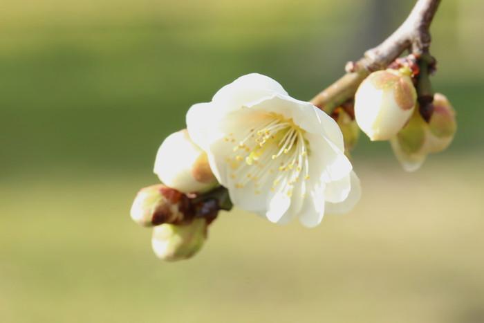 早春 梅の花 色々_d0150720_11151635.jpg