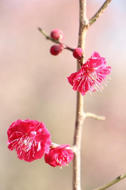 早春 梅の花 色々_d0150720_11163352.jpg