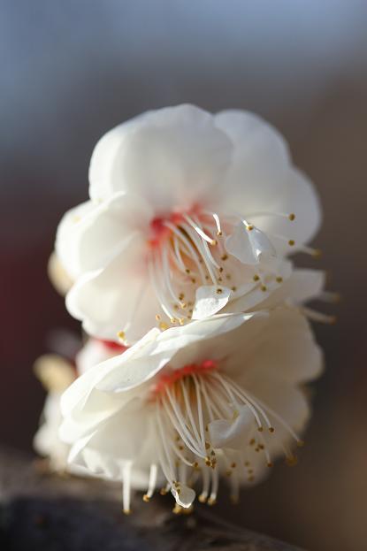 早春 梅の花 色々_d0150720_11164093.jpg