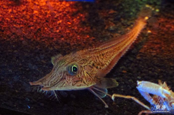 444 沼津港深海水族館 ~日本一の深海水族館~_c0211532_23514555.jpg