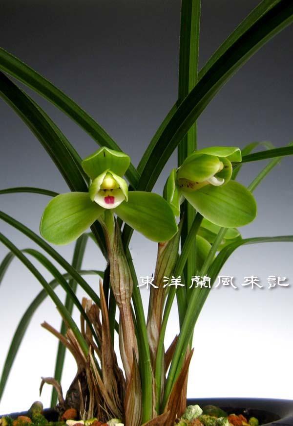 中国春蘭「西神梅」                     No.524_f0178953_22265654.jpg