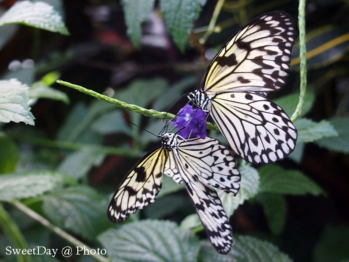 Victoria Butterfly Garden-ビクトリア バタフライガーデン_e0046675_13502971.jpg