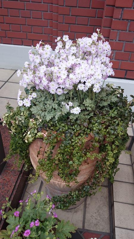 春らしい寄せ植え_a0292194_1594051.jpg