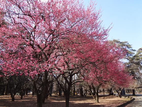 梅が咲いていました@大宮公園_b0131795_23334724.jpg