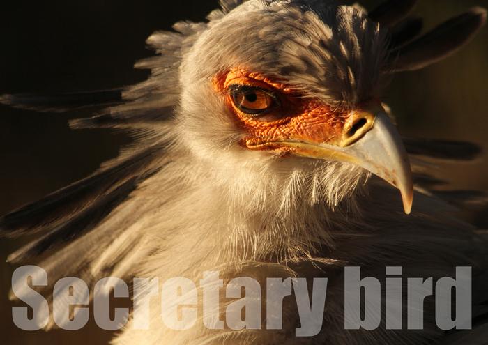 ヘビクイワシ:Secretary bird_b0249597_9291172.jpg