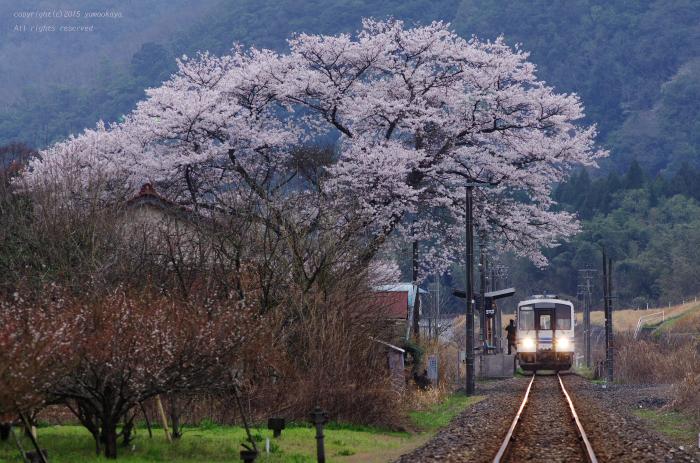 石見簗瀬の大きな桜の木_d0309612_0275583.jpg