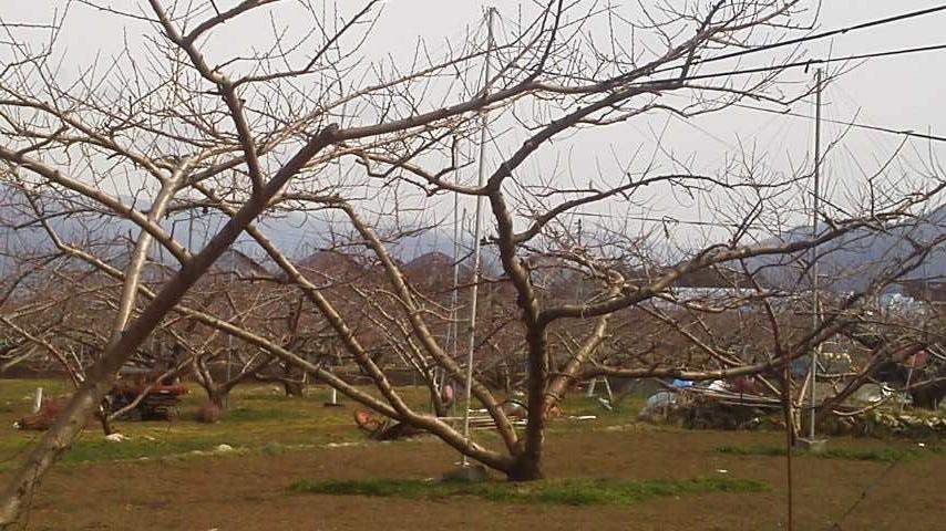 桃農家の息子として、目指してゆく 桃づくりの技術を_f0325525_01125083.jpg
