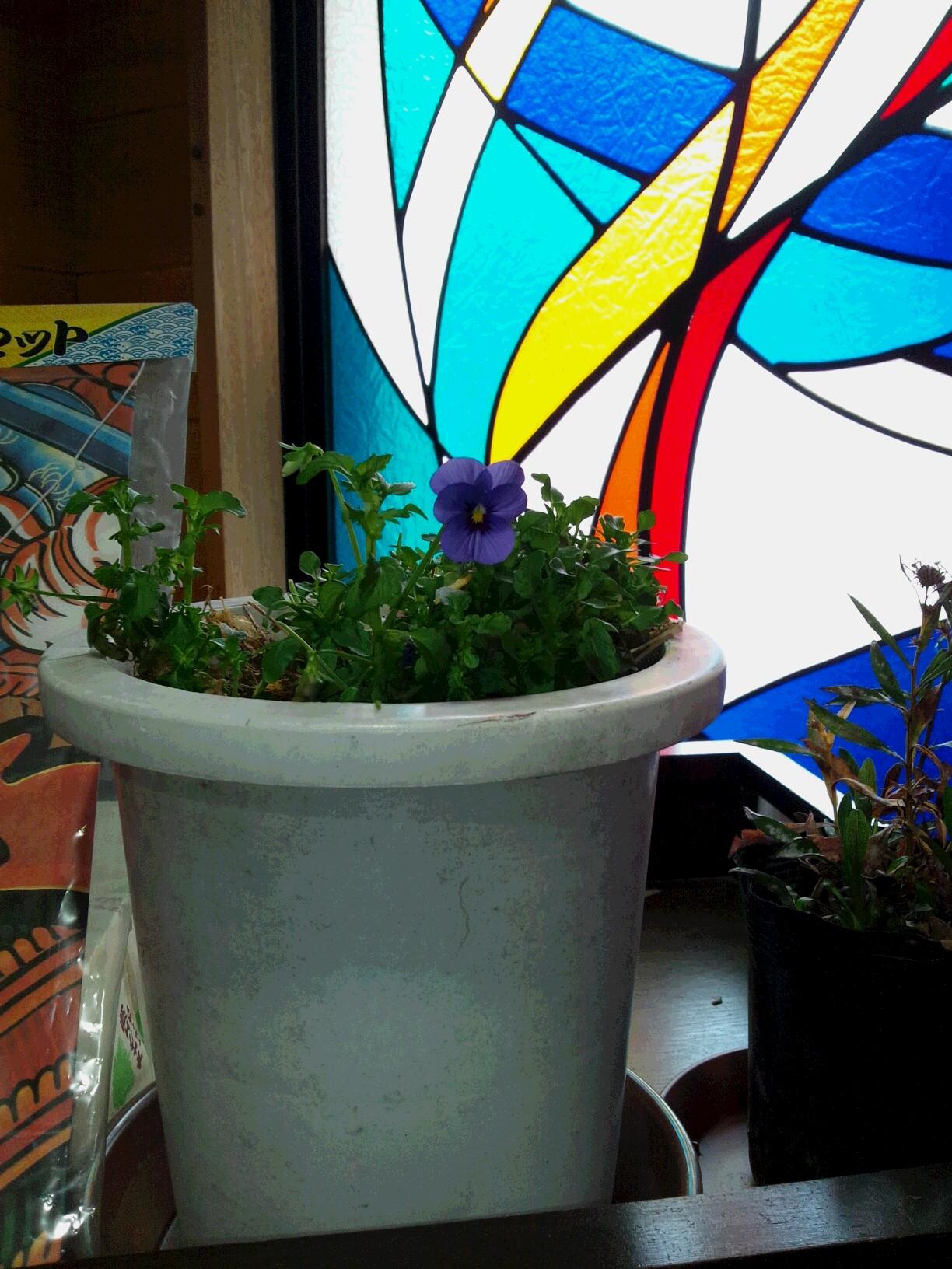 ビオラ咲きました_b0219993_14293074.jpg