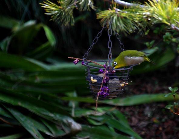 福島市 自宅 「庭に飛んできた野鳥」_d0106628_10473562.jpg