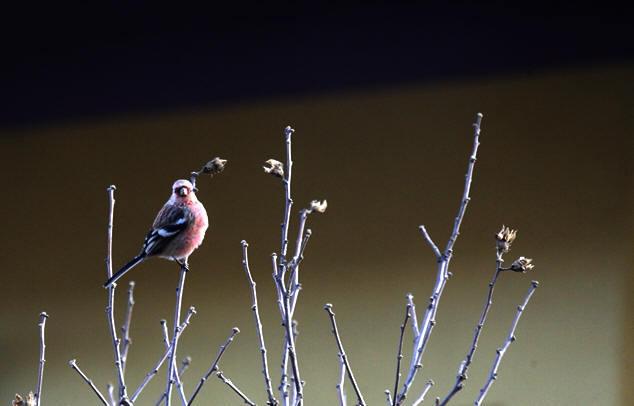 福島市 自宅 「庭に飛んできた野鳥」_d0106628_10474881.jpg