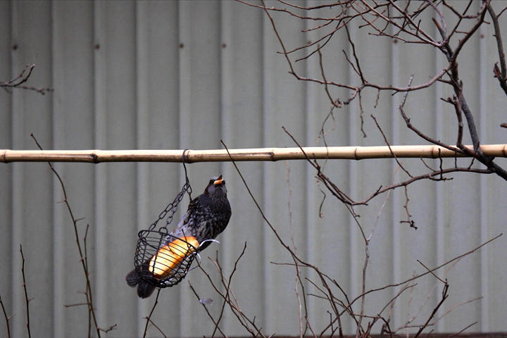 福島市 自宅 「庭に飛んできた野鳥」_d0106628_10480694.jpg