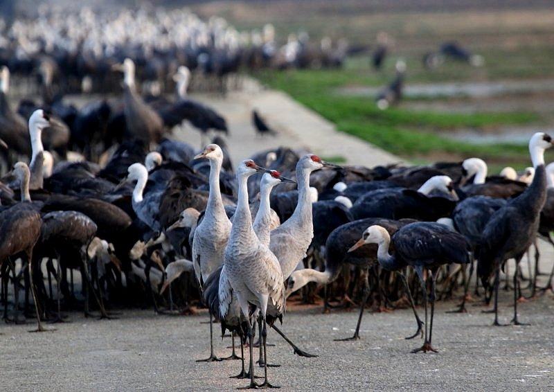 出水平野(鹿児島県)には、毎年、数羽が渡来_b0346933_6565032.jpg