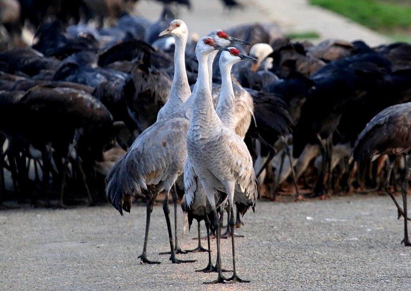 出水平野(鹿児島県)には、毎年、数羽が渡来_b0346933_6565758.jpg