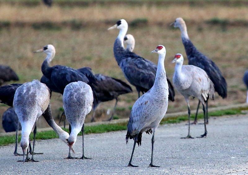 出水平野(鹿児島県)には、毎年、数羽が渡来_b0346933_657311.jpg