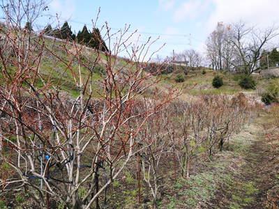 フレッシュブルーベリー 仕上げ剪定と草刈り、土作りの話 その2_a0254656_17244774.jpg