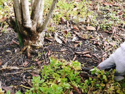 フレッシュブルーベリー 仕上げ剪定と草刈り、土作りの話 その2_a0254656_17404356.jpg