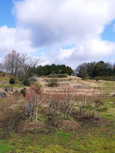 フレッシュブルーベリー 仕上げ剪定と草刈り、土作りの話 その2_a0254656_18321610.jpg