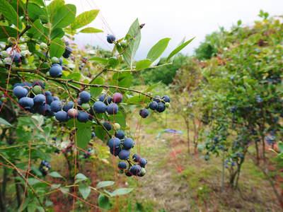 フレッシュブルーベリー 仕上げ剪定と草刈り、土作りの話 その2_a0254656_18421451.jpg
