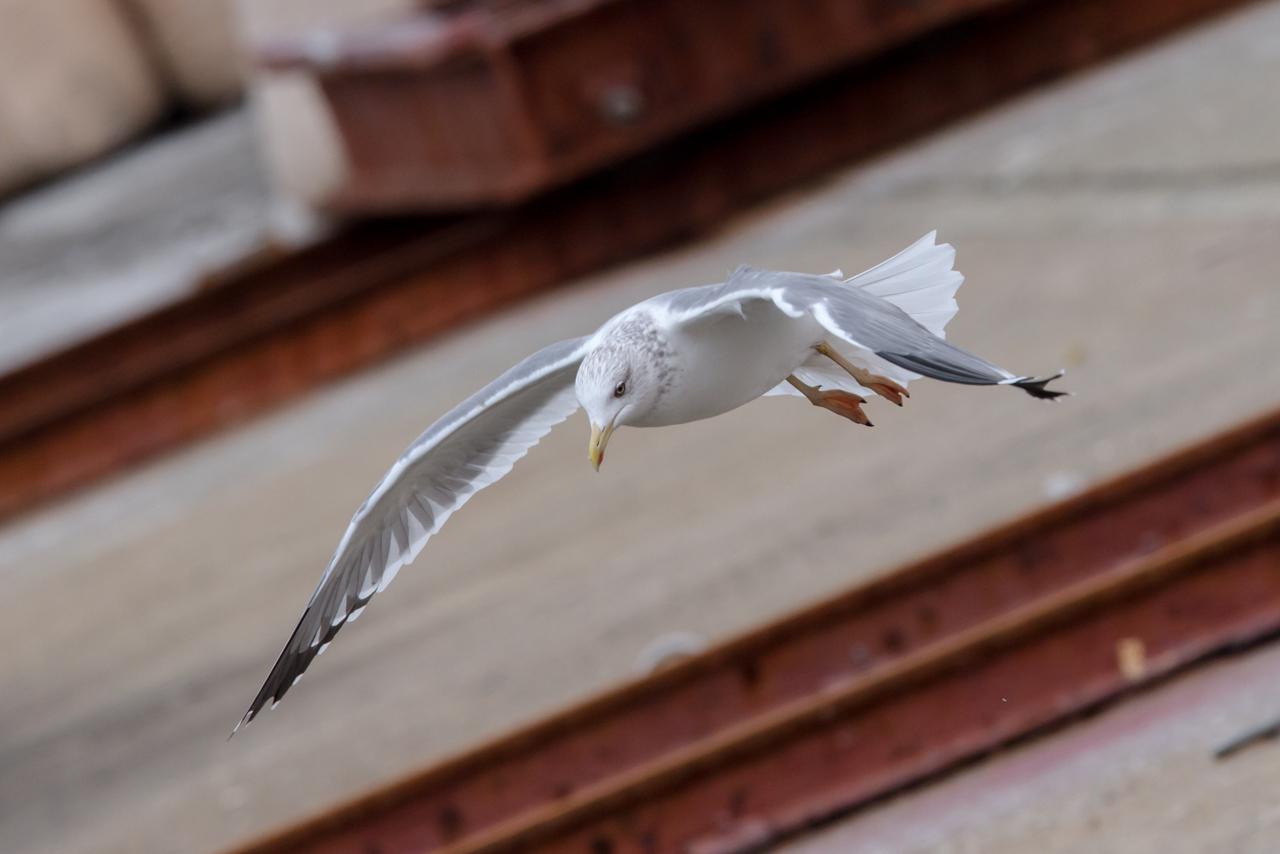 ホイグリン系カモメ(タイミルセグロカモメ)_a0052080_09091232.jpg