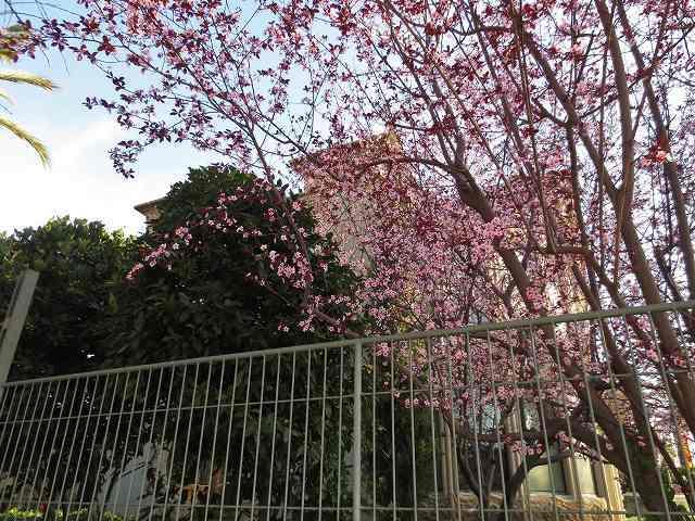 プルーンの花を見に_b0064411_05275347.jpg