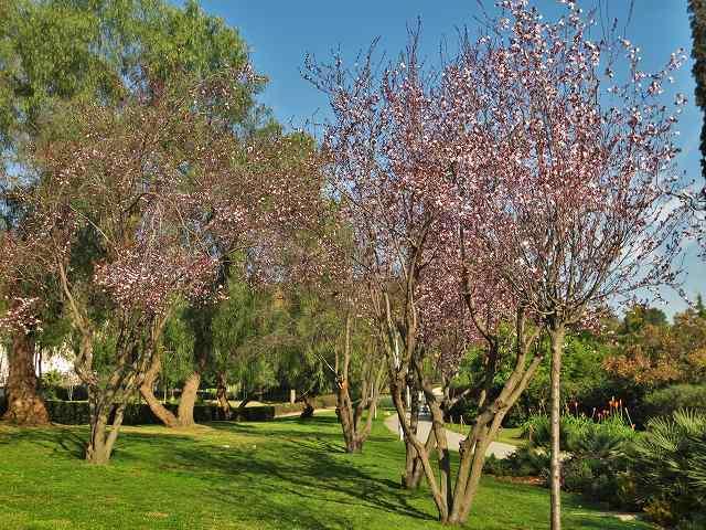 プルーンの花を見に_b0064411_05275352.jpg