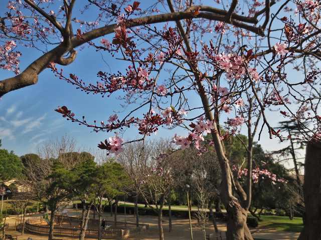 プルーンの花を見に_b0064411_05275388.jpg
