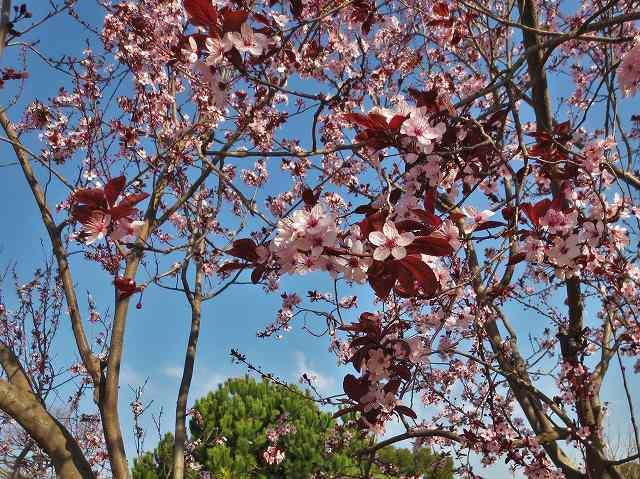 プルーンの花を見に_b0064411_05275409.jpg