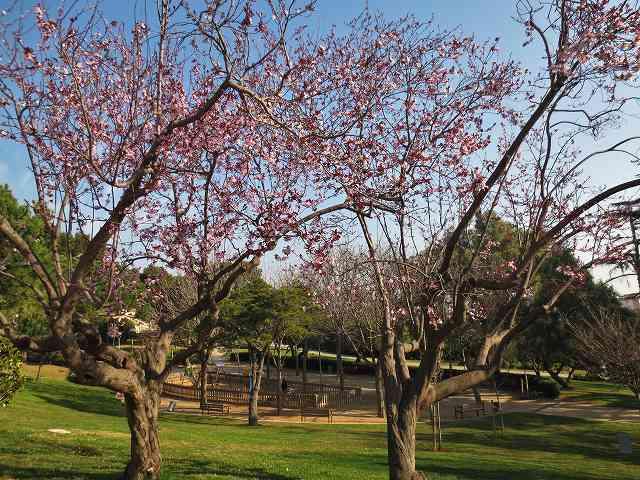 プルーンの花を見に_b0064411_05275413.jpg